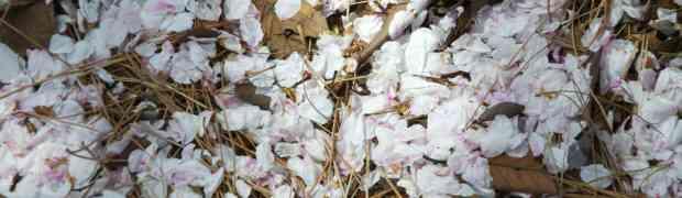[写真]桜が散ったら、地面が桜色になるんだぜ・・・たまには下を見つめて写真を撮ろう!!
